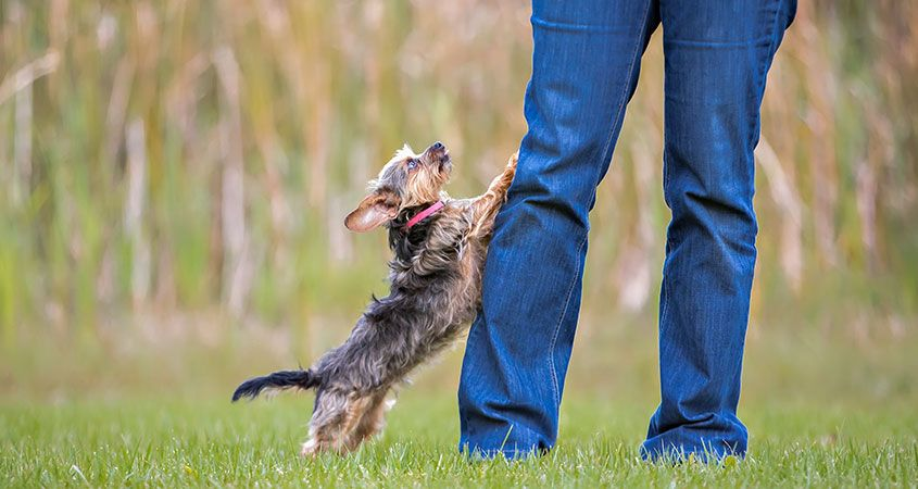 How-to-stop-dog-from-jumping-on-guests